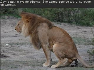 Срущий Лев, привет друзьям из Африки.