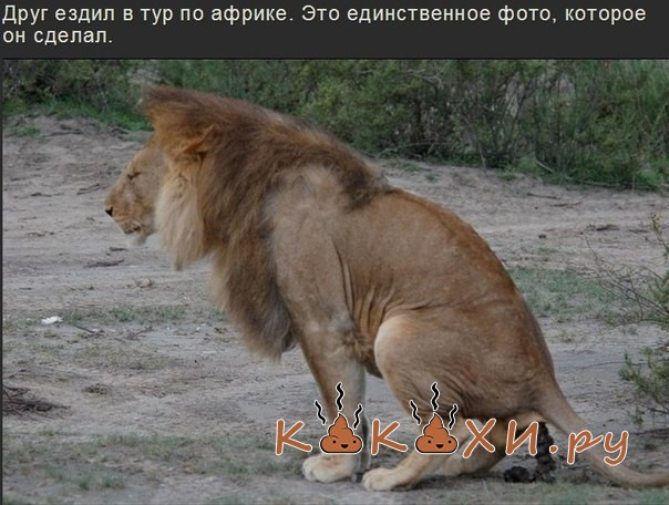 Какашка Срущий Лев, привет друзьям из Африки.